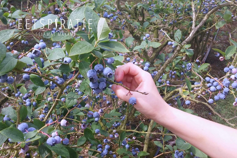 Blauwe bessen struik